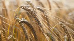 Adıgey'de buğday rekoru