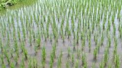 Dağıstan'da 70 bin ton pirinç üretildi