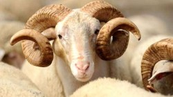 Kurbanklık koyunlar çalınmadı