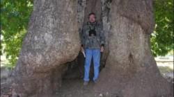 Rusya'nın en yaşlı ağaçları Dağıstan'da