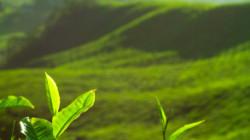 Adıgey çayının kalitesi bir kez daha tescil edildi