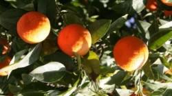 Abhazya Rusya'nın meyve kaynağı olacak